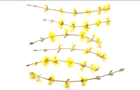 Forsythia branches with yellow flowers isolated on white background.  Spring branches flowering.