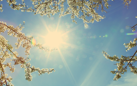 Looking up into bright sun and blue sky  through branches. Tree branches blossoming in spring. Hawthorn tree blooming in sunny day. Stock Photo