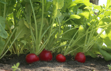 Organic red radish growing on soil in greenhouse. Fresh radish from own garden. Banco de Imagens