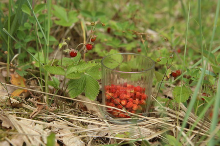 Wild strawberries gathered in glass in forest. Ripe woodland.