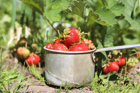 Picked up ripe red strawberries in own organic garden. Fresh homegrown strawberries in a metal cup in a garden bed.