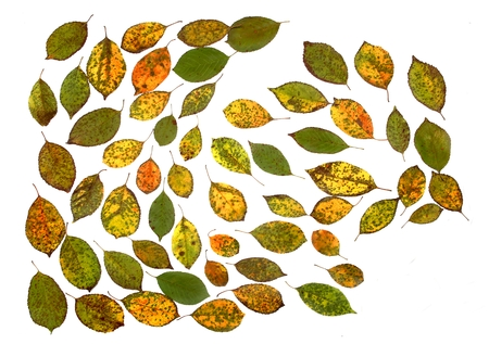 Autumn leaves isolated on white background. Colorful cherry tree leaves pattern.
