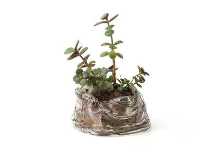 Jade plant growing in glass cup isolated on white background. Succulent houseplant, crassula ovata, commonly known as jade plant, friendship tree, lucky plant, money tree in transparent pot.