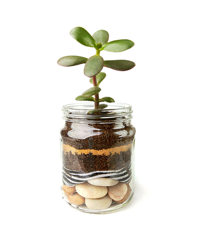Jade plant succulent seedlings in glass pot. Succulent houseplant, crassula ovata, commonly known as jade plant, friendship tree, lucky plant, money tree cuttings in transparent pot. Imagens