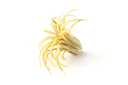 Air plant, Tillandsia ionantha, houseplant succulent no pot isolated on white background. Tillandsias are low-maintenance plants that require no soil, just plenty of water, sunlight, and airflow. Standard-Bild