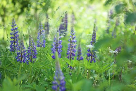 Blue lupines flowering in the meadow. Blooming wild flowers lupine. 免版税图像