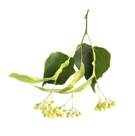 Fresh linden flowers with leaves isolated on white background.  Branch of flowering lime tree.