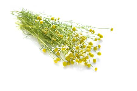 Bunch of fresh chamomile isolated on a white background. Freshly picked chamomile for tea.