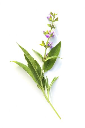 Sage herb twig with flower isolated on white background. Fresh branch of Salvia officinalis.
