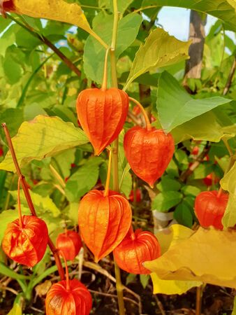 Physalis or Chinese Lantern Plant growing in garden. Physalis alkekengi flowers in autumn.