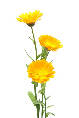 Marigold flowers calendula officinalis isolated on white background. Blooming orange garden flowers.