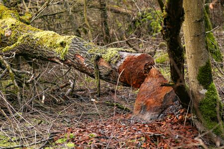 Beaver gnawed the trunk of Black Alder tree. Tree cut down by beaver. Tree trunk with beaver tooth traces, Lithuania.