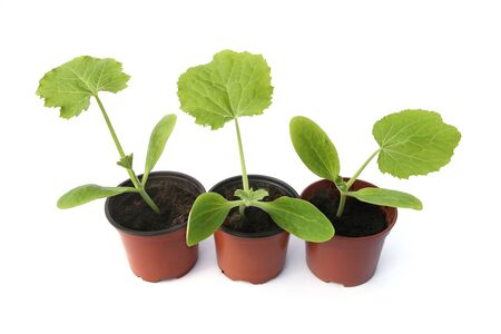 Zucchini seedlings isolated on white background, Young zucchini growing in pot before planting in the ground.