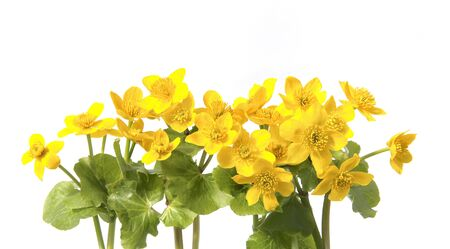 Marsh Marigold, Caltha Palustris isolated on white background. Wild yellow spring flowers growing in  marshes, fens, ditches and wet woodland.  Stock Photo