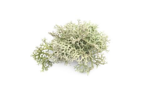 Tree moss isolated on white background. Piece of fresh Lichen forest plant.