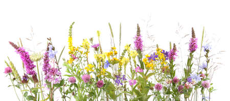 Flowering wild grass and herbs isolated on white background. Border of meadow flowers wildflowers and plants.