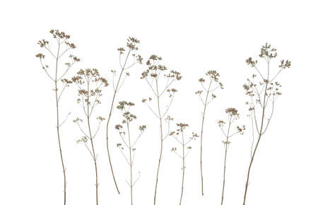 Dry field flowers isolated on white background. Dry wild meadow grasses or herbs.