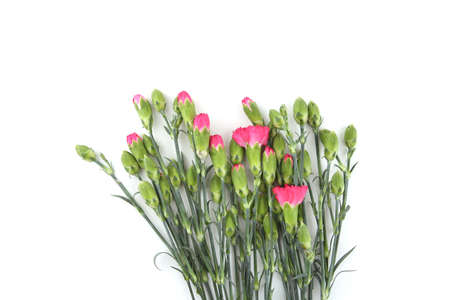 Mini carnations isolated on white background. Pink mini carnations with buds in early spring time.