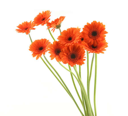 Gerbera flowers isolated on white background. Bouquet of orange gerbera flowers. 版權商用圖片