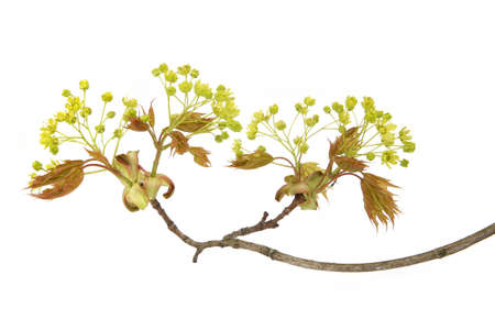 Maple flowers isolated on white background. Blossoming maple tree branch.