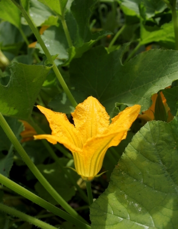 Zucchini flower  photo
