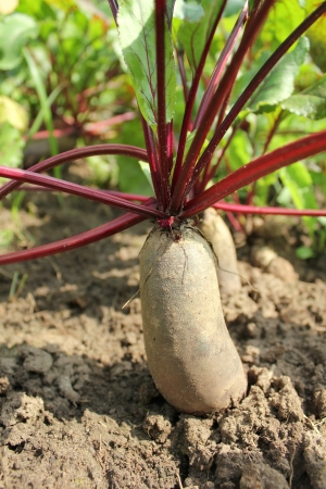 cylindrical beets photo