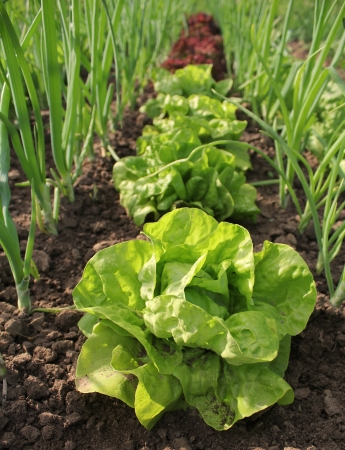 lettuce growing in soil photo