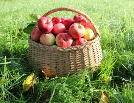 Healthy organic apples in the basket Stock Photo - 15561266