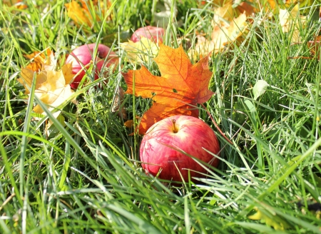 Fallen red apples and leaves in green grass  photo