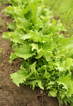 green endive (Cichorium endivia)  写真素材