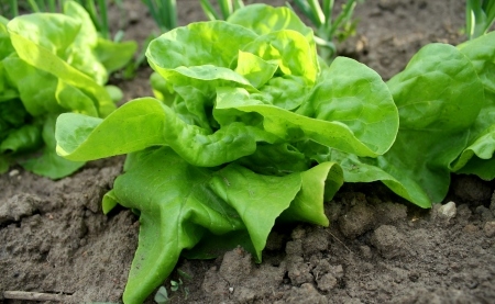 cabbage patch: Lettuce growing in the soil