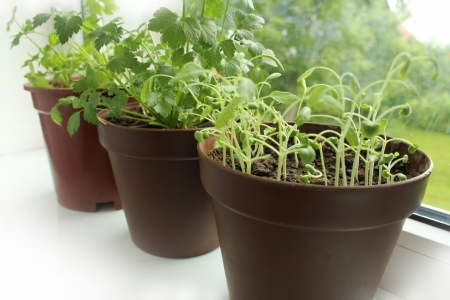 sill: Fresh herbs in pots Stock Photo