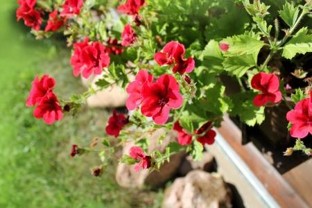 pelargonium flowers in a windowbox  photo