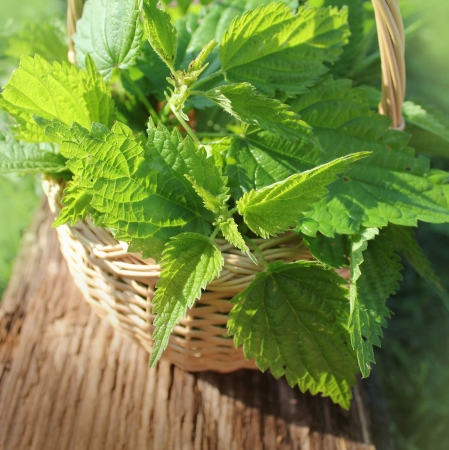 Freshly stinging nettles in basket Фото со стока - 23932933