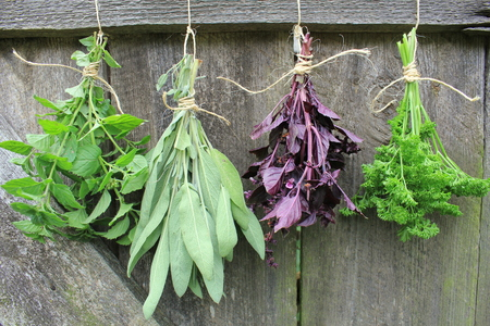 Fresh herbs hanging for drying  写真素材