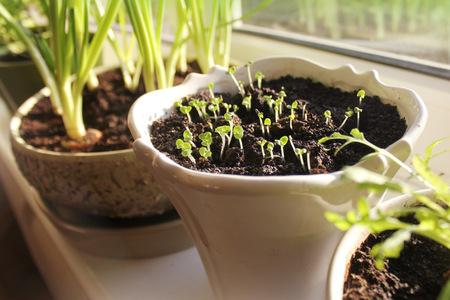Jonge zaailingen groeien in pot op de vensterbank indoor