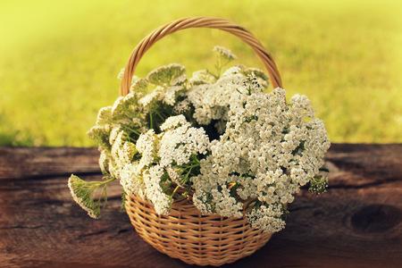 milfoil: white Achillea Millefolium in basket