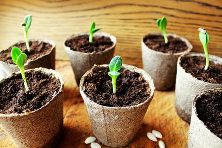 peat pot: Gardening background.Young fresh seedling growing in pot.