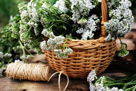 White  yarrow (Achillea Millefolium) in basket Foto de archivo