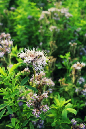 Blomming Phacelia tanacetifolia- bee pasture Stock Photo