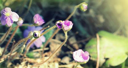 liverwort: Blue flowers of Hepatica Nobilis also liverwort, kidneywort, pennywort, Anemone hepatica. Stock Photo