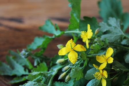 Celandine essential with flower and leaves on wooden background