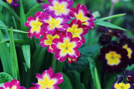 Perennial primrose or primula in the spring garden. Spring primroses flowers, primula polyanthus. The beautiful pink colors primrose flowers garden Stok Fotoğraf