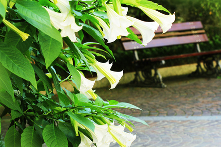 Blooming white brugmansia flower or angles trumpets, datura in garden Stock Photo