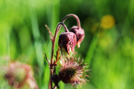 geum rivale, water avens, purple avens flower blooming Stock Photo
