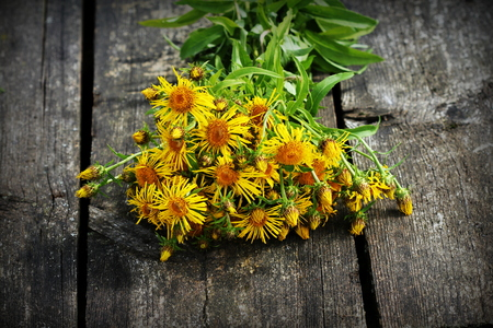 inulin: Inula helenium or horse-heal or elfdock yellow flowers with green on wooden background. Medical plant contains a lot of essential oils, saponins, inulin, vitamin E and other substances