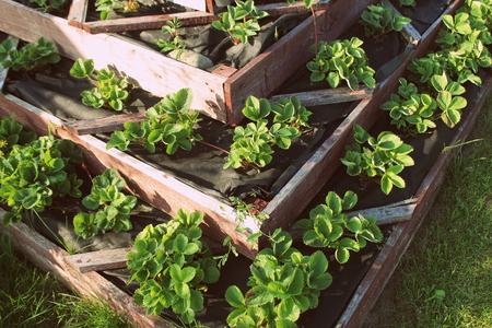 Strawberries in raised garden bed. Pyramid raised garden . Foto de archivo