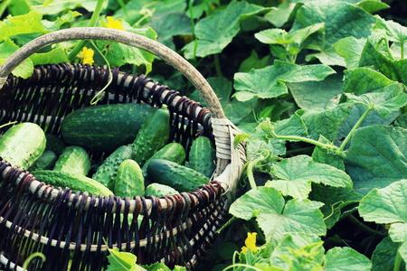 かごの中のきゅうりの新鮮な収穫は。緑の植物と園芸の背景
