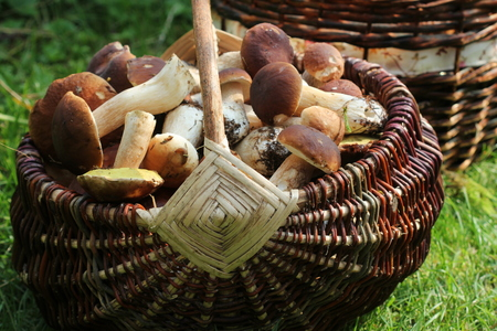 Basket full of boletus mushrooms in forest