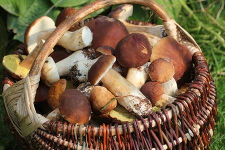 Basket full of fresh boletus mushrooms in forest Stock Photo
